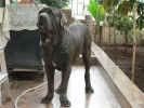My Champion (KCI) male Neopolitan Mastiff. | my champion kci male neopolitan mastiff
