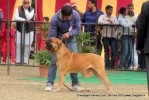 Chandigarh Dog Show 2013 | bull mastiff,sw-75,ex-186