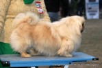 Chandigarh Dog Show 2013 | ex-4,pekingese,sw-75,