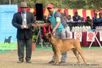 Chandigarh Dog Show 2013 | bull mastiff,sw-75,ex-189
