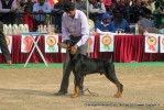 Chandigarh Dog Show 2013 | dobermann,sw-75,