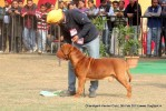 Chandigarh Dog Show 2013 | dogue de bordeaux,sw-75,