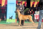 Chandigarh Dog Show 2013 | great dane,sw-75,