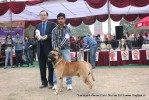 Chandigarh Dog Show 2013 | bull mastiff,sw-75,ex-188