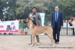 Chandigarh Dog Show 2013 | great dane,sw-75,ex-209