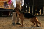Chandigarh Kennel Club | ex-248,gsd,sw-110,