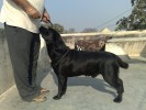 GAJLANAVILLE LABRADORS | germany,ind,thai chgateway from here to eternityhero