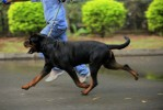cido flash rouse | rottweilers