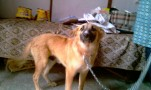 cute Alsatian  mixed breed for adoption | cute alsatian  mixed breed for adoption