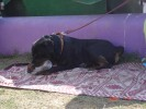 Delhi Dog Show 2010 - some pix |