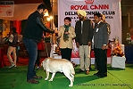 Delhi Kennel Club  | 8th best in show,ex-127,line up,sw-145,