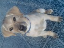 Dogs Puppy for sale |