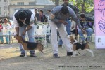 Doon Valley Kennel Club, 5 Dec 2010 | beagle,ex-53,sw-13,