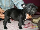 FRENCH BULL DOG DAMANVEER098877010077 |