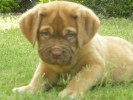 French Mastiff Puppy |