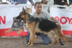 Gujarat Kennel Club | ex-197,gsd,sw-44,