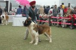 Gurgaon Dog Show Day1 | stbernard,
