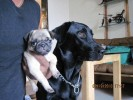 hansie and uka(Lab and pug) |