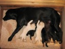 Hansie th lab with her kids |