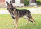 ILLUSTRATED STANDARDS OF GERMAN SHEPHERD DOG BREED LINES | ILLUSTRATED STANDARDS OF GERMAN SHEPHERD DOG BREED LINES