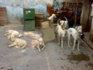 indian breed | ,Album,