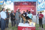 Jabalpur Dog Show 2013 | german shepherd,line up,sw-81,ex-209