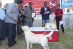 Jabalpur Dog Show 2013 | labrador retriever,line up,sw-81,ex-97