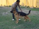 JOJO (german shephard) mob. 9215641038 | JOJO (german shephard) mob. 9215641038