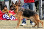 Kanpur Dog Show 2011 | ex-224,gsd,sw-42,