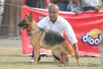 Kanpur Dog Show 2011 | ex-229,gsd,sw-42,
