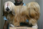 Lhasa Apso- Patricia's Amazing Luck |