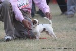 Lucknow Dog Show 2011 | chihuahua,ex-4,sw-43,