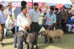 Meerut Dog Show | Mastiff,