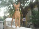Minature Pinscher for sale | minature pinscher for sale