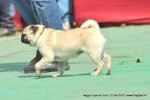 Nagpur Dog Show | pug,