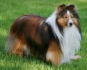 my  new  collection | ,Cute sheltie standing guard over his food.,Angela Hill,Adorable Sable Sheltie,canine,dog,shetland sheepdog,sheltie,grass,lassie,cute,adorable,soft,fluffy,furry,almond eyes,brown,Angela Hill,