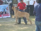 North India Greatdane Speciality Show |