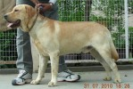 Old English Mastiffs |