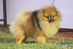 Orissa Kennel Club 2010 | ex-7,pom,sw-10,