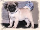 Pug puppies for sale |
