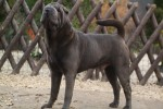 Qi Ming Xing shar-pei kennel | http://sharpei-dog.net