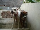 The RJT | Dogs,Boxer,White Boxer,Female Dog,KCi