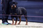 Rottweiler Club Of India (Haryana Chapter)  | rottweiler,