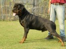 Rottweiler kennel India:Vom Carnivous |