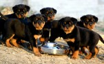 Rottweiler Pups Available For Sale | rottweiler pups available for sale