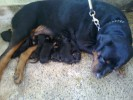 Rottweiler Pups for Sale |