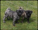 SEE FIRST TIME!!PUGS!!!!CAN HELP YOU IMPORT THEM!!!!!!!IN NORMAL PRICE --MANJIT RALHI | RALHIS 9759693610