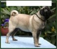 SEE FIRST TIME!!PUGS!!!!CAN HELP YOU IMPORT THEM!!!!!!!IN NORMAL PRICE --MANJIT RALHI | RALHIS