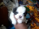 shihtzu pups for sale@ 9910537727,9555736710,9213428852 | shihtzu pups for sale 9910537727,9555736710,9213428852