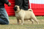Taj Kennel Club 2012 | ex-18,pug,sw-51,